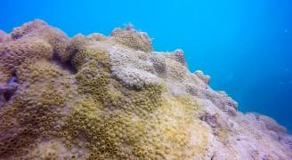 Star Coral - Ilha Grande